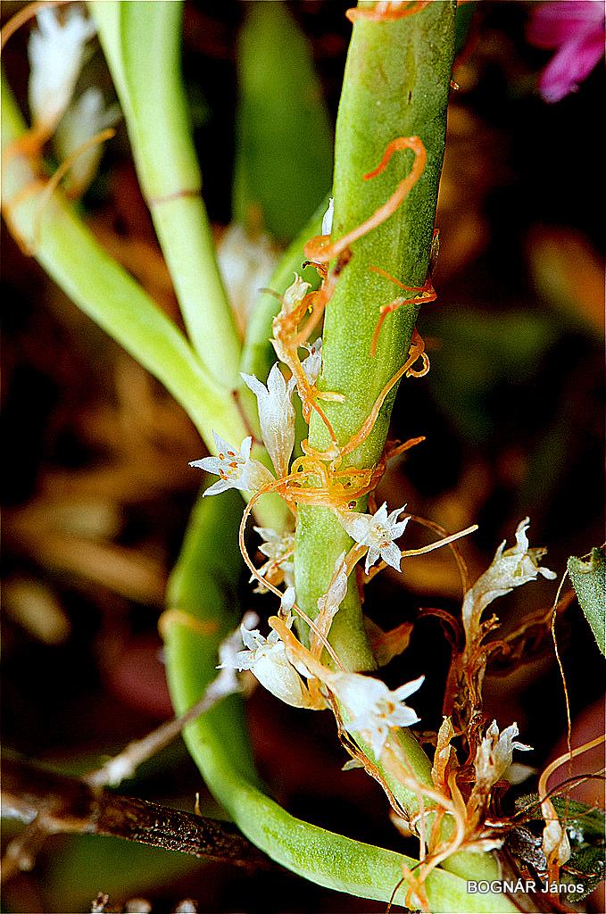 Parazita növény jellemző fajok