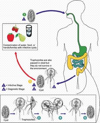 giardia infection incubation period a férgek kezelésének első tünetei