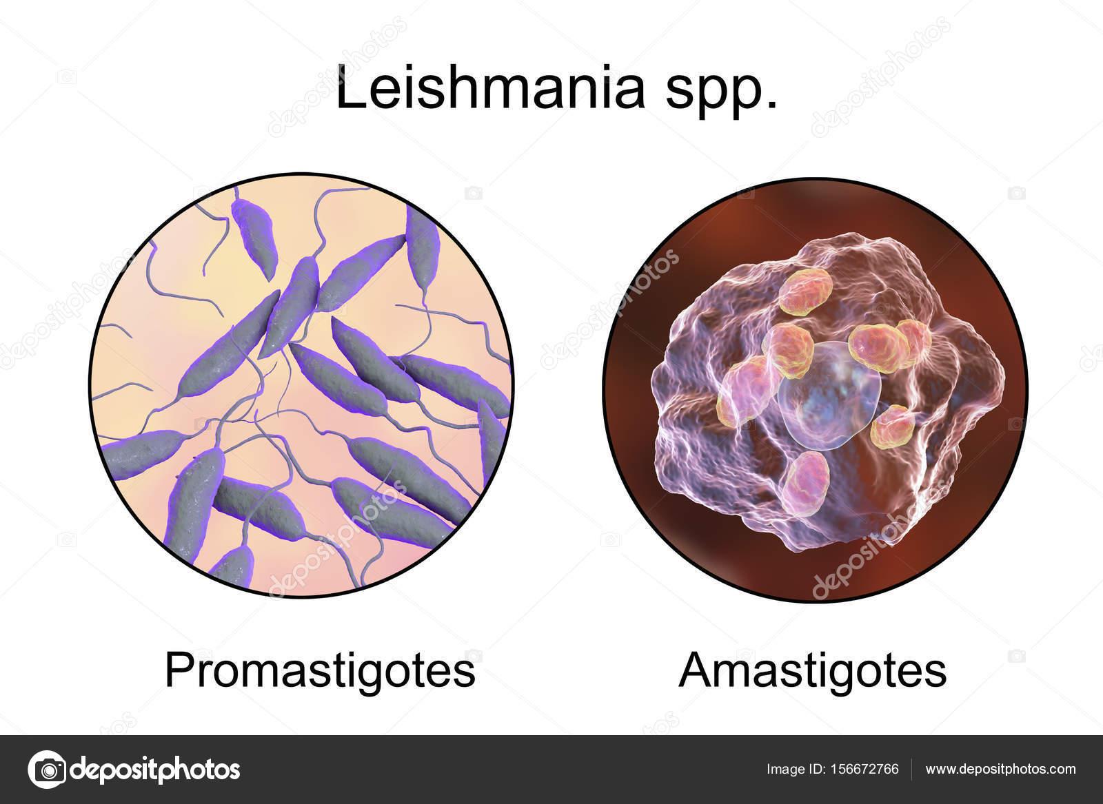 leishmaniasis paraziták a gyógyszer rezorpciós hatása a testre