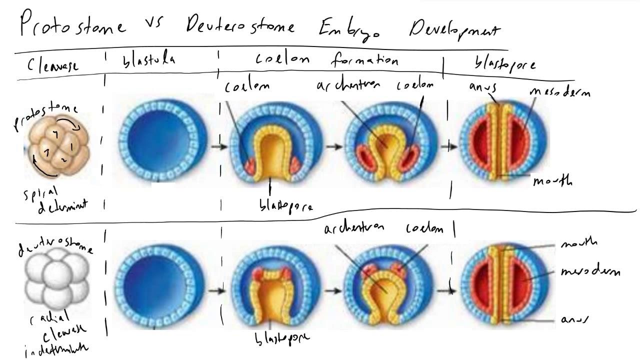 blastopore sorsa platyhelminthesban hogy néznek ki a kerekes férgek