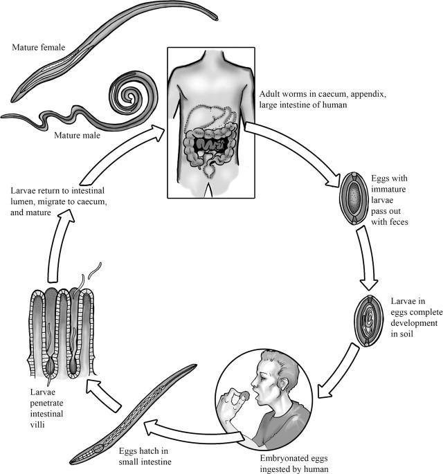 hookworm necatorosis trichocephalosis giardia caini