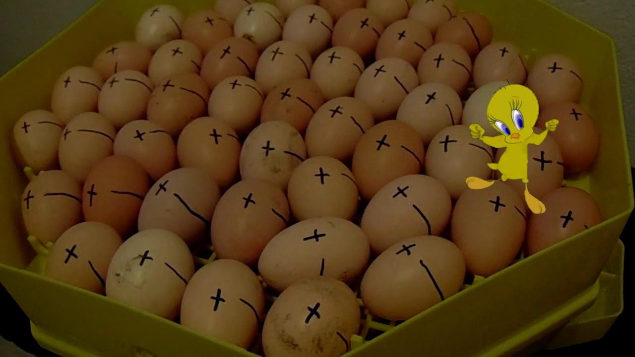 Aszcariasis tojótyúkok kezelésében - bestgoldens.hu