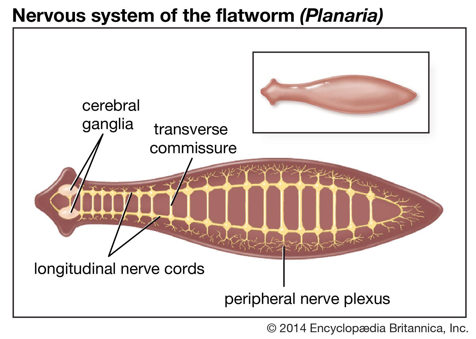 platyhelminthes turbellaria planaria férgek készítményei 4 éves gyermek számára