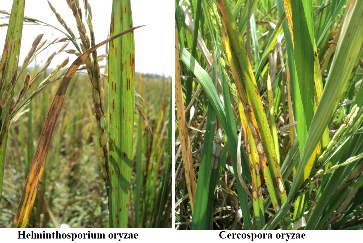 helminthosporium oryzae pada padi