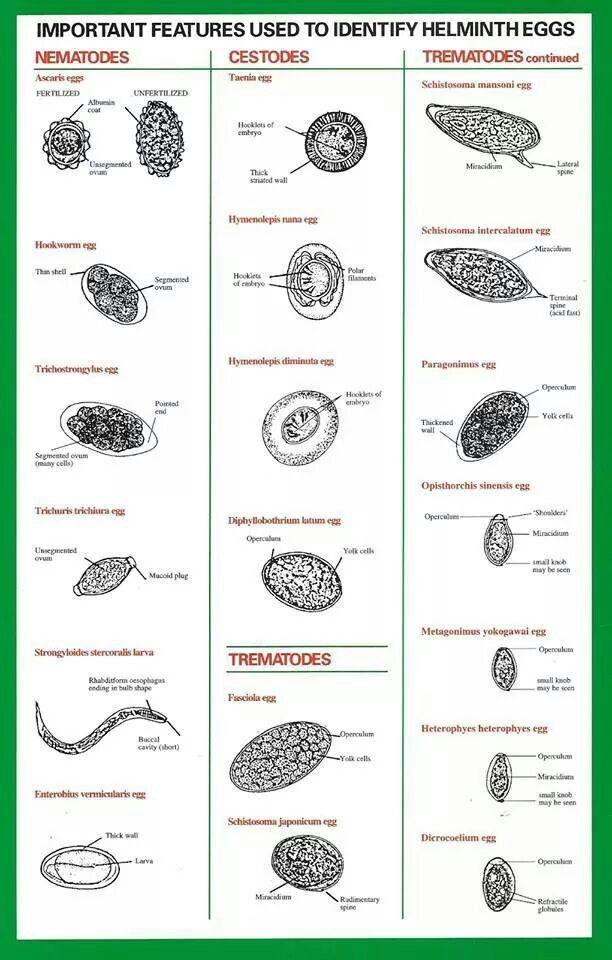 helminth fertőzések emedicine a parazitáktól való tisztítás szakaszai
