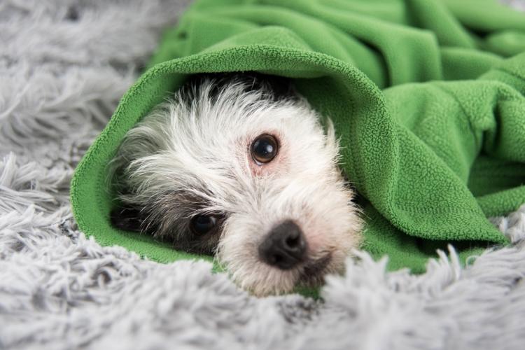 kutya szívférgesség tünetei