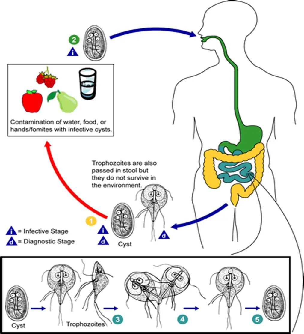 giardia disease specific chapter tabletták szedése férgek számára