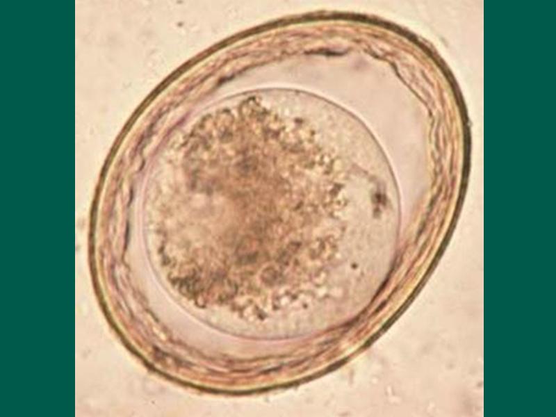 Ascariasis Laika Liker- től giardia verme do coracao