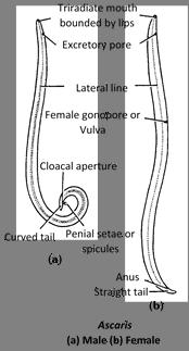 Ascaris kezelési módszerek a széklet elemzésében megtalálható helminták