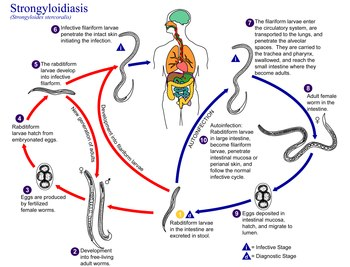 A strongyloidosis betegség