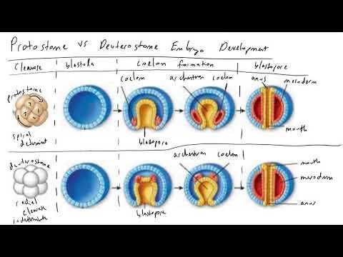blastopore sorsa platyhelminthesban férgek a vesékben tünetek és gyógyszeres kezelés