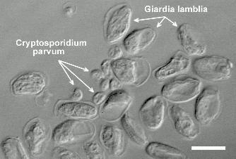 cryptosporidium and giardia tabletták férgekhez, egy tabletta csomagbanként