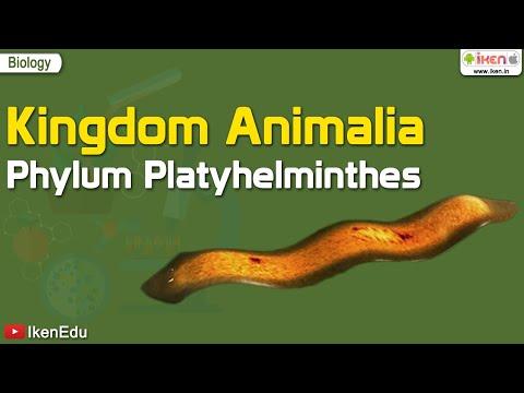 Galandférgek - Platyhelminthes táplálás