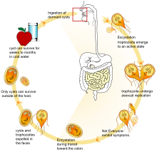 giardia structure and reproduction gyógyszer férgek enterobiasis