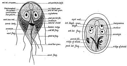 giardia structure and reproduction az emberi szervezet felépítése