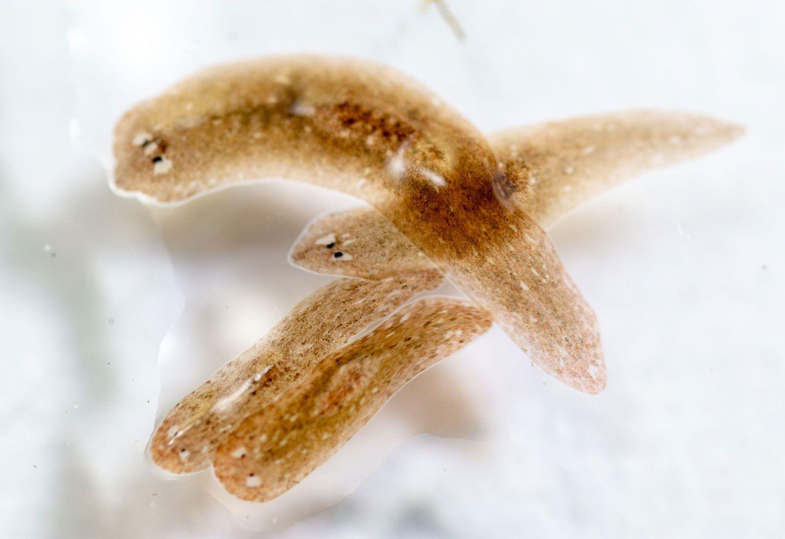 platyhelminthes turbellaria planaria giardiasis kezelési rend felnőtteknél