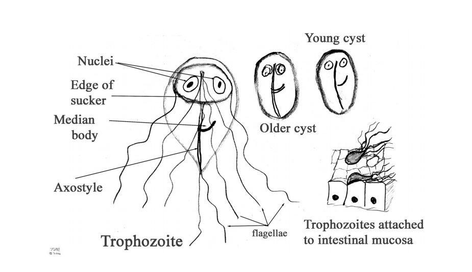 Giardia treatment diet, - Giardia hard to get rid of