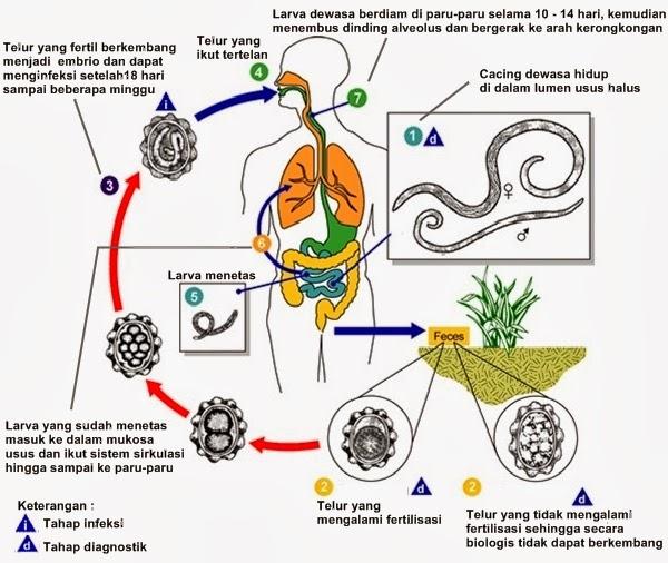 manfaat filum nemathelminthes