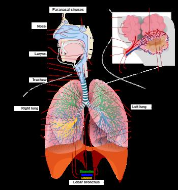 tüdő betegségei és tünetei