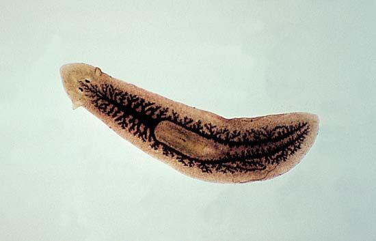 platyhelminthes turbellaria planaria gyógyszer az aszcariasis kezelésére